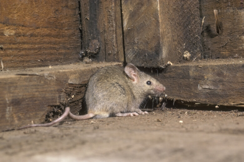 muis op zolder
